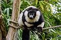 Lemur (26992476858).jpg