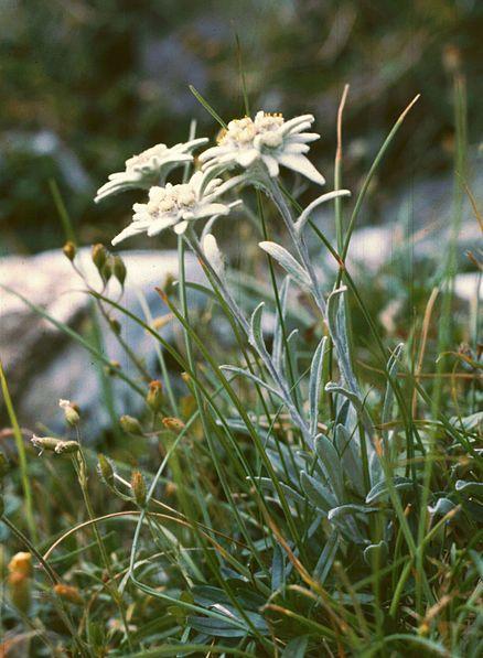 Fichier:Leontopodium alpinum1.jpg
