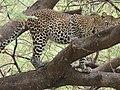 Leopard at Lake Manyara NP Tanzania.jpg