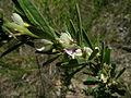 Lespedeza juncea flower2 (11139987693).jpg