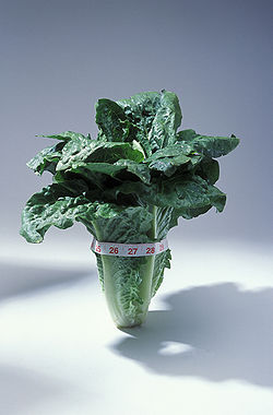 Lettuce romaine variety.jpeg