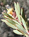 Leucadendron rubrum m Nicola van Berkel 1.jpg