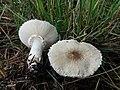 Leucoagaricus leucothites (2).jpg