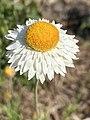 Leucochrysum albicans flower white form.jpg