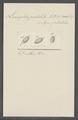 Leucophra pustulata - - Print - Iconographia Zoologica - Special Collections University of Amsterdam - UBAINV0274 113 16 0023.tif