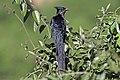 Levaillant's cuckoo (Clamator levaillantii).jpg