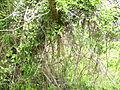 Liana (Clematis vitalba) 2009.jpg
