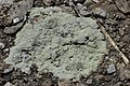 Lichen (42405078450).jpg