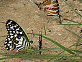 Lime Butterfly (Papilio demoleus) with Spot Swordtail (Graphium nomius ) W IMG 0285.jpg
