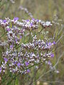 Limonium sareptanum (flowers).jpg
