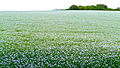 Linseed field in Hampshire, July 2011 a.jpg