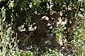 Lion, Ruaha National Park (13) (28921856262).jpg
