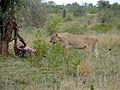Lioness (Panthera leo) with killed wildebeest (12032859056).jpg