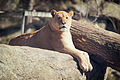 Lioness Posed on Rocks (17387854009).jpg