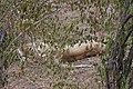 Lions of Masai Mara 03.jpg