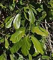 Litsea fawcettiana foliage.jpg