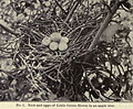 Little Green Heron Eggs - 1905.jpg