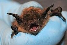 A hand holds a little brown bat