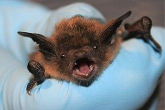 Little brown bat - Face of the little brown bat
