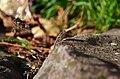 Lizard (95772481).jpeg