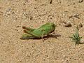 Locusta m. migratorioides L5 solitary.jpg