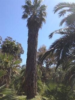 Un palmier à jupon sur l'île de Lokrum