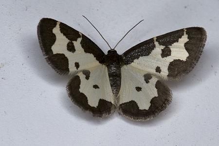 Lomaspilis marginata, Lodz(Poland)01(js).jpg