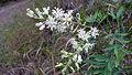 Lomatia silaifolia flowers (16116580571).jpg