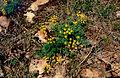 Lomatium grayi.jpg