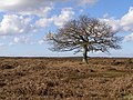 Lone tree north of the Islands Thorns Inclosure, New Forest - geograph.org.uk - 148825.jpg