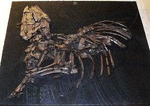 Skelett von Lophiodon im Geiseltalmuseum in Halle.