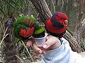 Lorikeets at Fort Worth Zoo drinking nectar.jpg