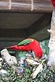 Lorius garrulus -Bali -Indonesia-8.jpg