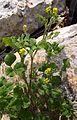 Low Hop Clover (Trifolium campestre) - Flickr - Jay Sturner.jpg