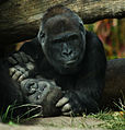Lowland Gorilla Mother (4242223817).jpg