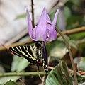 Luehdorfia japonica (on Erythronium japonicum).JPG