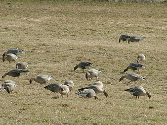 Pink-footed goose - Part of a feeding flock in winter