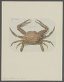 Lupea gladiator - - Print - Iconographia Zoologica - Special Collections University of Amsterdam - UBAINV0274 094 20 0011.tif