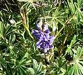 Lupinus micranthus. - Flickr - gailhampshire (1).jpg
