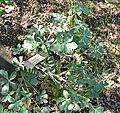 Lupinus sericatus 1.jpg