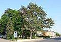 Luxembourg Berschbach Pinus nigra 2008.jpg