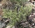 Lycium andersonii 1.jpg