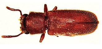 Conservation and restoration of wooden furniture - Powderpost Beetle