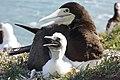 Mãe e filhote de atobá (Sula leucogaster) nas ilhas Moleques do Sul, sul do Brasil 2.jpg