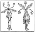 Männliche und weibliche Alraune.png
