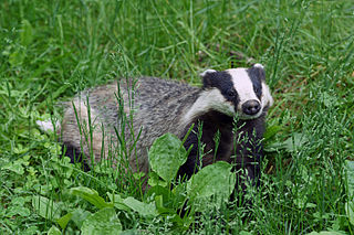 European badger species of carnivorans