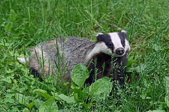 European badger - Image: Mäyrä Ähtäri 4
