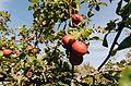 Mössinger Äpfel.jpg