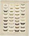 MA I437628 TePapa Plate-XXIX-The-butterflies full.jpg