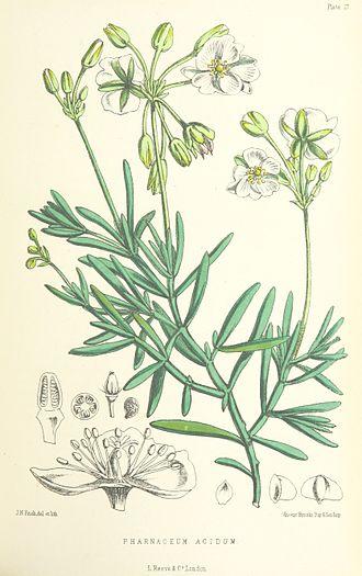 Kewa (plant) - Kewa acida